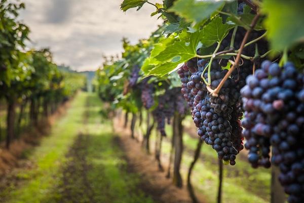 hybridation-des-vignes-:-quelle-reglementation-?